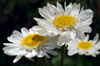 обоя цветы, ромашки, позитив, нежность, макро, лето, флора, красота, дача, растения, природа, белый, цвет, белоснежность