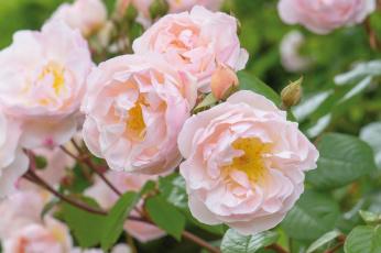 обоя цветы, розы, красота, бутоны