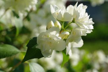 обоя цветы, жасмин, декоративные, кустарники, белый, цвет, дача, белоснежность, флора, цветение, природа, нежность, лето, красота
