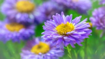 обоя цветы, астры, флора, макро, красота, октябрь, многолетники, розовый, цвет, астра, кустовая, растения, природа, осень, дача
