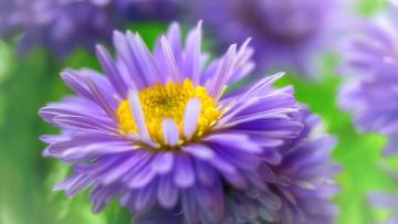 обоя цветы, астры, природа, осень, октябрь, розовый, цвет, астра, кустовая, многолетники, макро, красота, дача, растения, флора