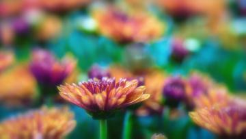 обоя цветы, хризантемы, лепестки, цветение