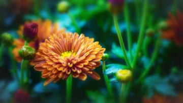 обоя цветы, хризантемы, лепестки, цветки