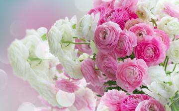 обоя цветы, ранункулюс , азиатский лютик, лютики, beautiful, white, розовые, pink, flowers, ranunculus
