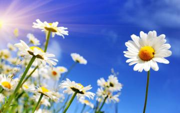 обоя цветы, ромашки, spring, небо, солнце, весна