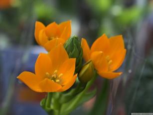 Картинка цветы каланхоэ