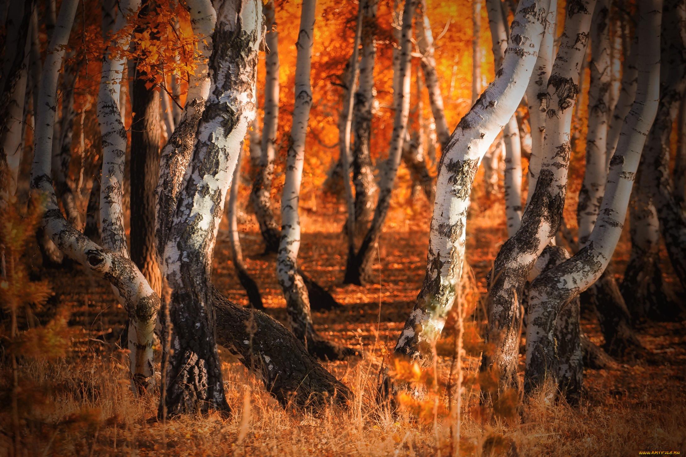 Березы осенью в лесу загрузить