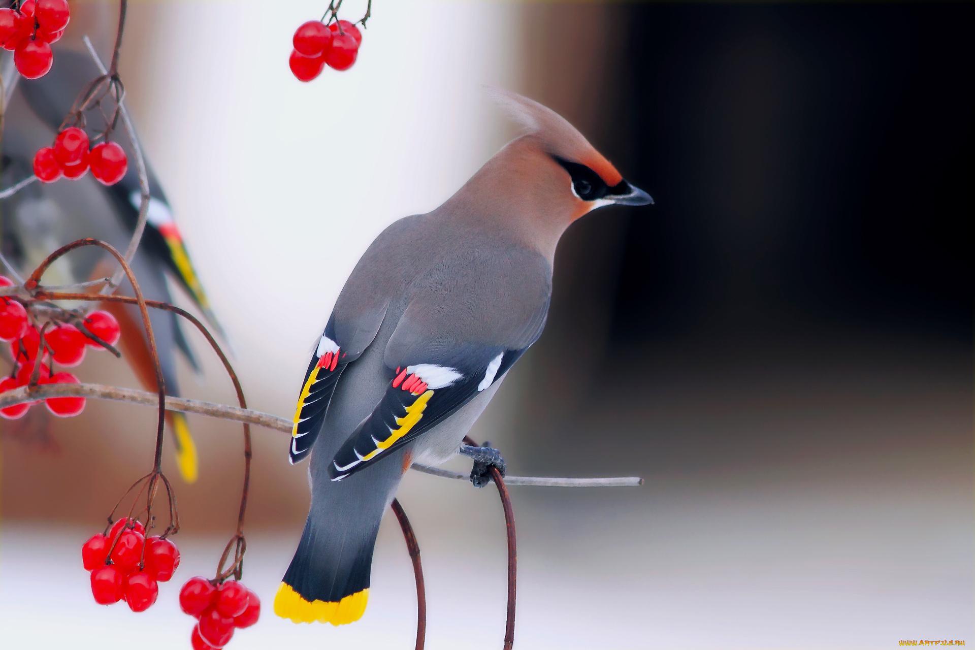 птица хохолок ветки загрузить