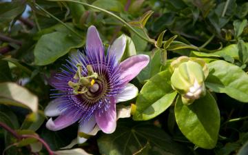 Картинка цветы пассифлора бутон листья