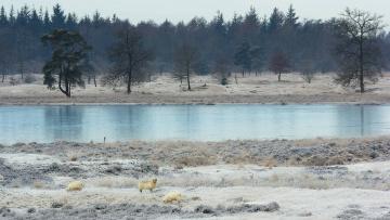 Картинка природа реки озера река овцы снег