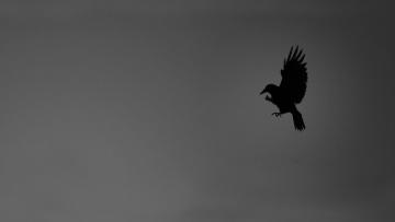 Картинка рисованные минимализм ворона