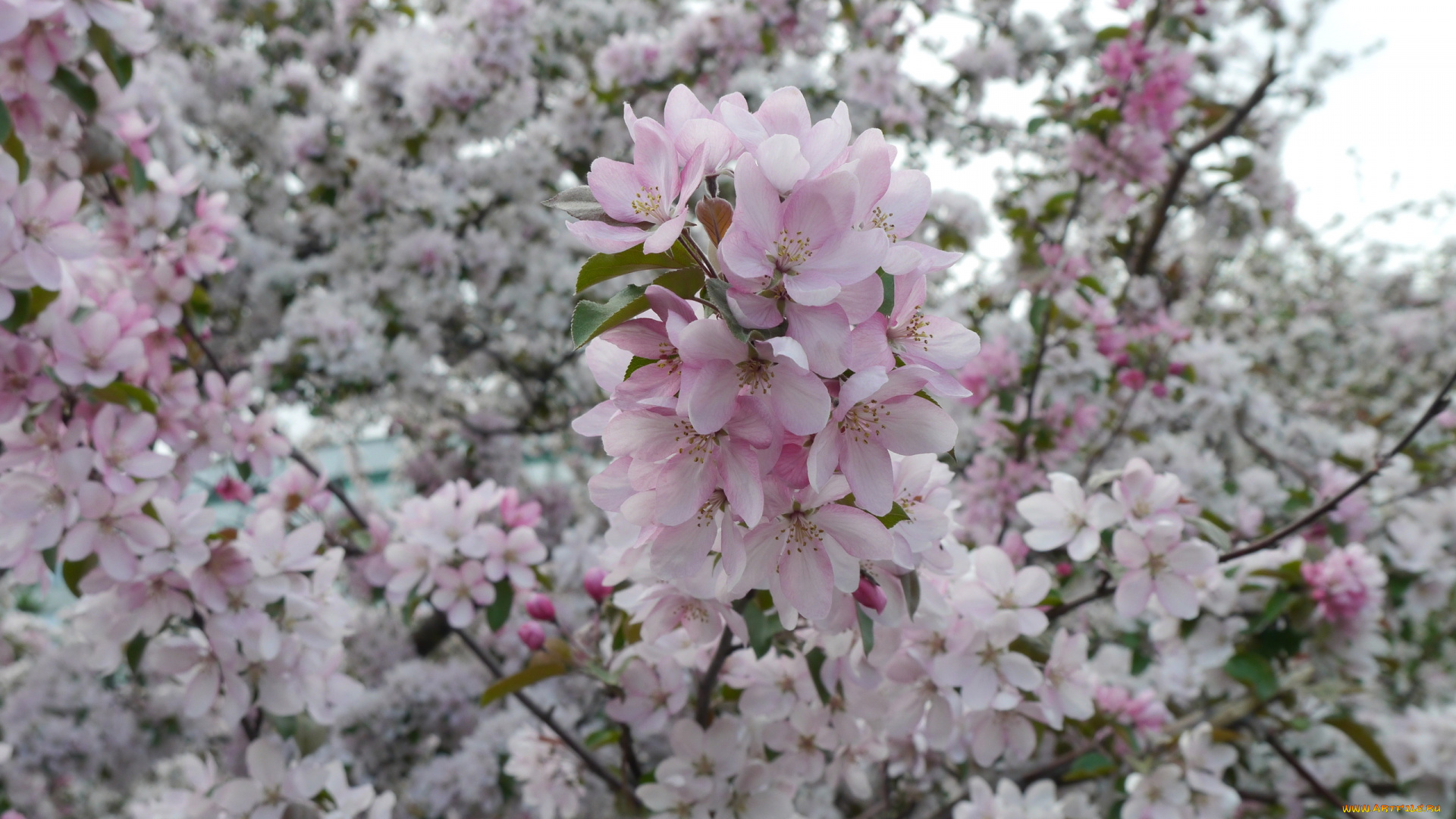 яблоня цветение дерево онлайн