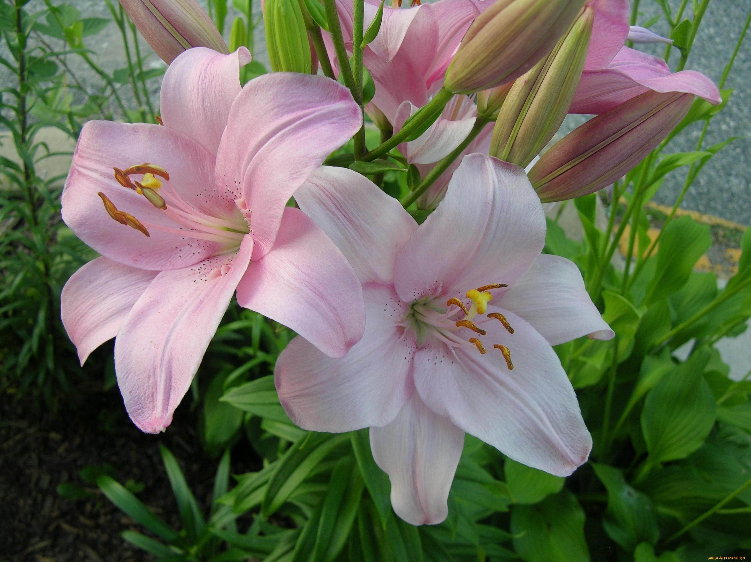 Веселые картинки, лилии для лилии картинки красивые