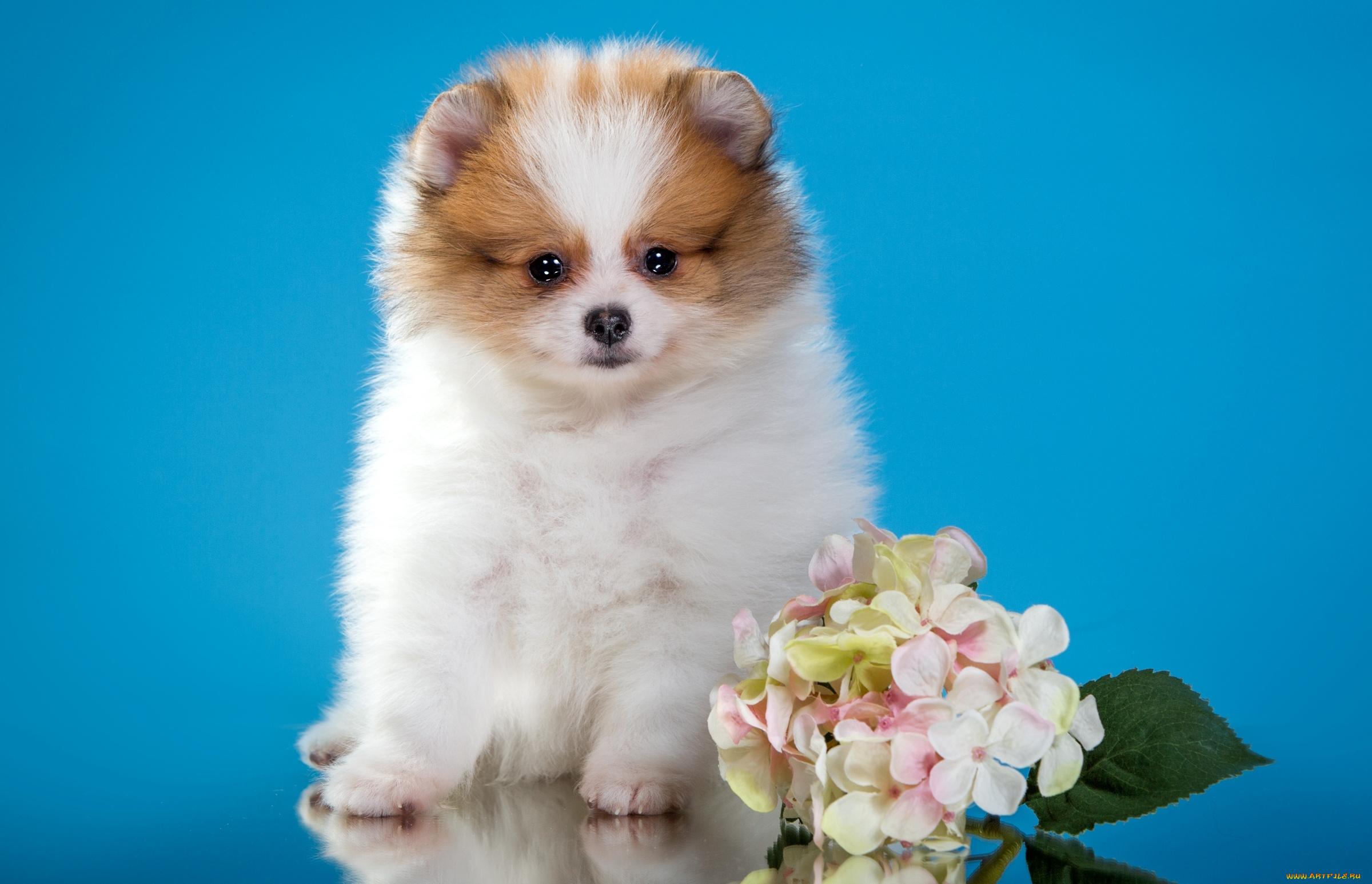 белые собаки щенки животные розовый фон  № 2918109 бесплатно