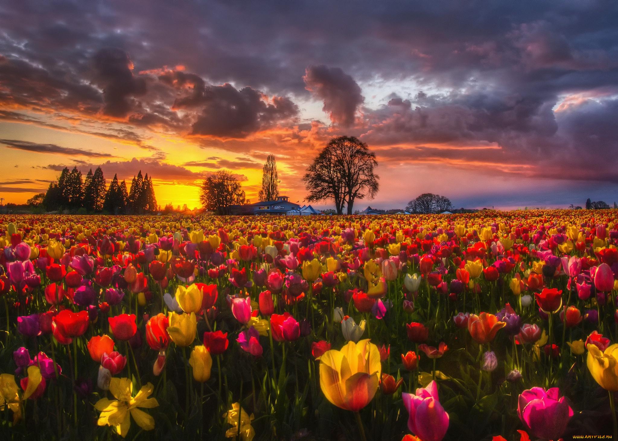 тюльпаны поляна закат  № 3285878 бесплатно