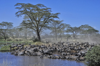 Картинка животные зебры водопой