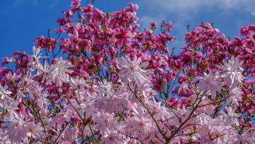 обоя цветы, магнолии, весна, магнолия, деревья