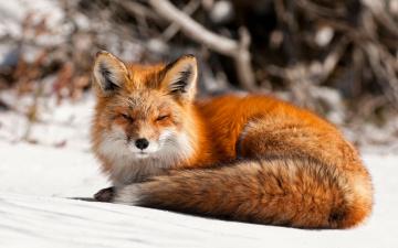 обоя животные, лисы, лиса, снег, рыжая, хищник