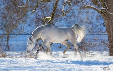 обоя автор,  oliverseitz, животные, лошади, конь, серый, рысь, бег, движение, грация, сила, игривый, зима, снег, загон