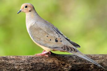 Картинка животные голуби взгляд клюв