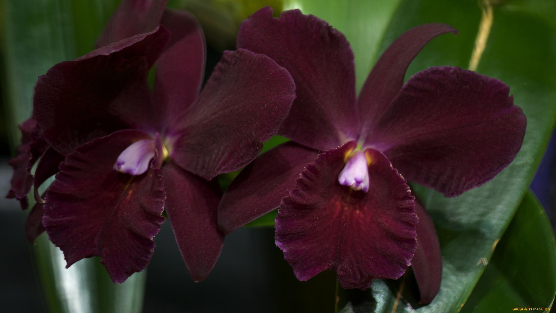 Орхидеи фото фаленопсис бордового цвета