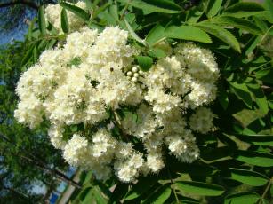 Картинка цветы цветущие деревья кустарники рябина