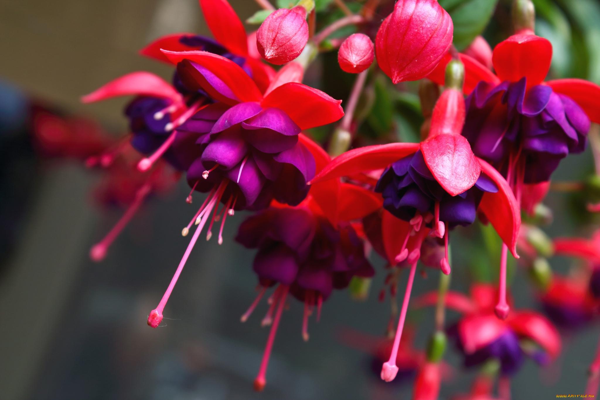 Что за цветок фуксия