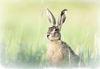 обоя рисованное, животные,  зайцы,  кролики, заяц, акварель