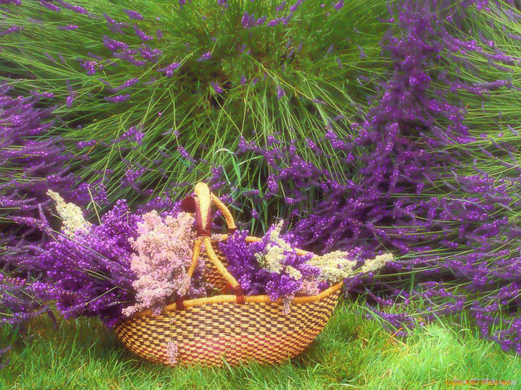 Открытки цветов лаванды, картинки рисования фото