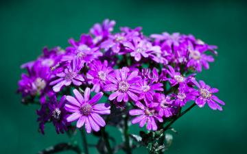 Картинка цветы цинерария сиреневые много капли воды