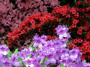 Картинка цветы рододендроны азалии красный розовый цветение