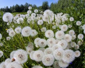 Картинка цветы одуванчики луг