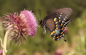 Картинка животные бабочки +мотыльки +моли бабочка