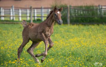 Картинка автор +oliverseitz животные лошади жеребёнок малыш детёныш бег игра луг загон лето