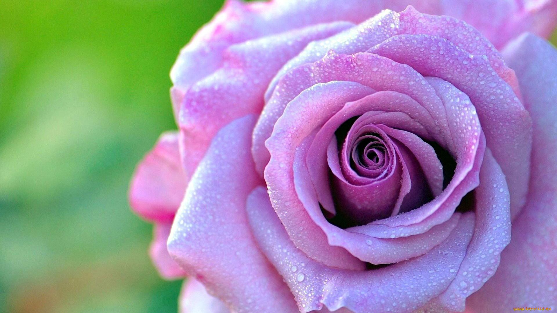 Сталкер картинках, сиреневые розы картинки