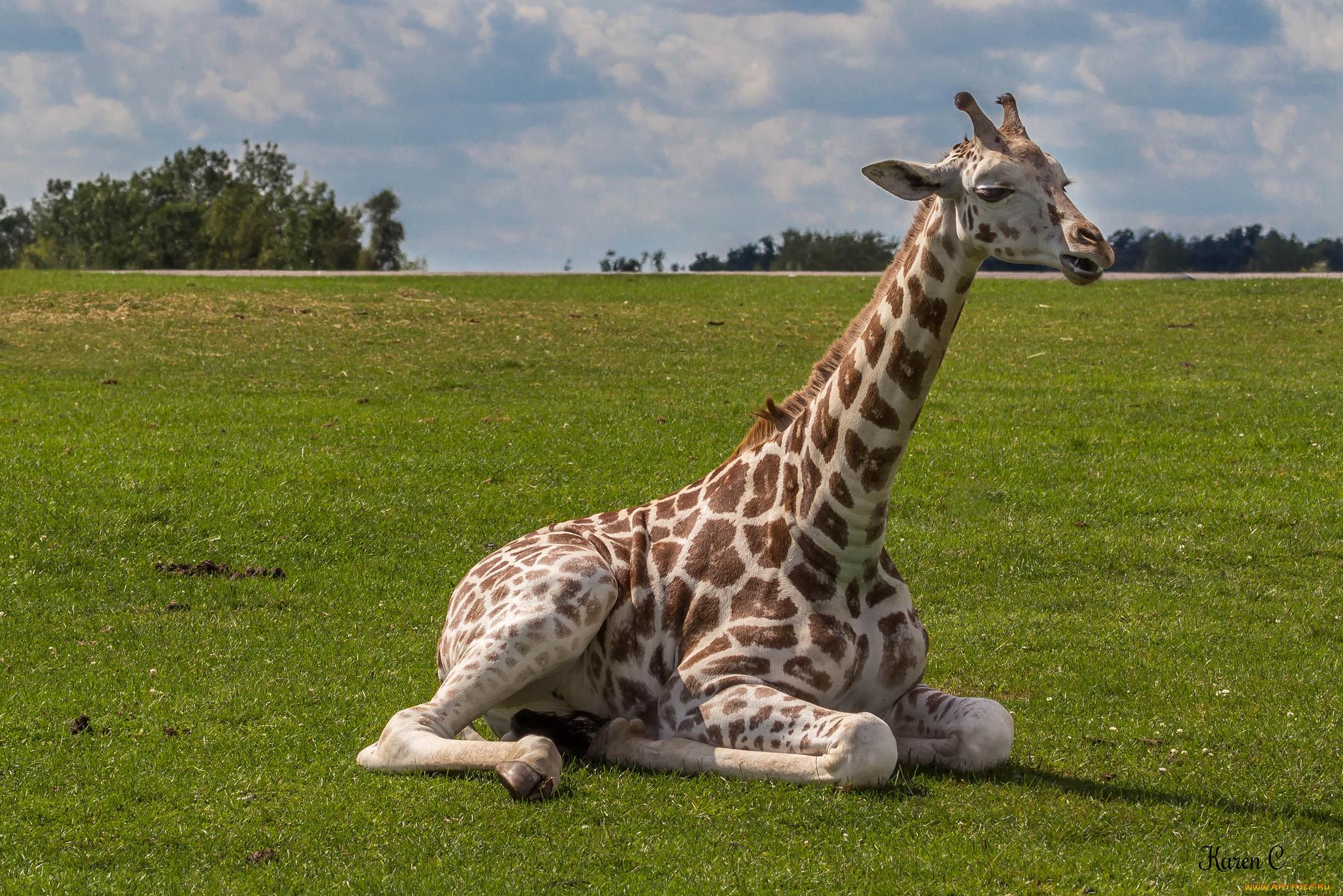Ручеек открытка, картинки жирафов настоящих