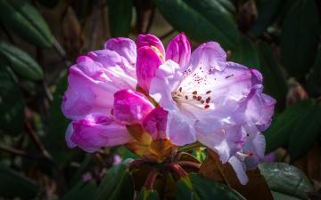 обоя цветы, рододендроны , азалии, рододендрон, азалия, куст, листья