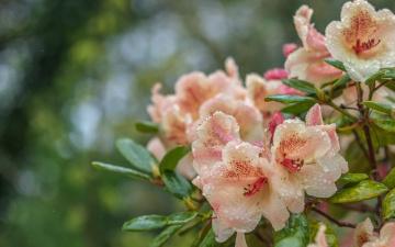 обоя цветы, рододендроны , азалии, рододендрон, азалия, капли, вода