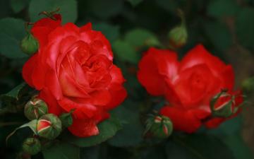 Картинка цветы розы куст бутоны лепестки