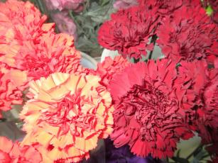 обоя цветы, гвоздики, гвоздика