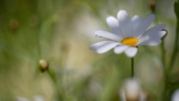 обоя цветы, ромашки, цветок