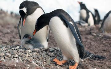 обоя животные, пингвины, камни, детеныш