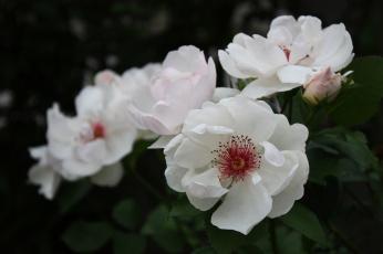 Картинка цветы розы лепестки бутон роза bud цветение rose листья blossoms leaves petals