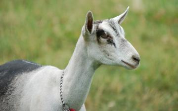Картинка животные козы коза