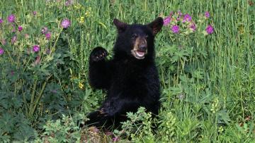 обоя животные, медведи, луг, черный, медвежонок, трава, цветы