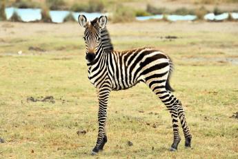Картинка животные зебры зебра детеныш