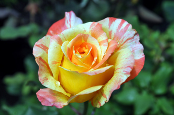 Картинка цветы розы пестрый