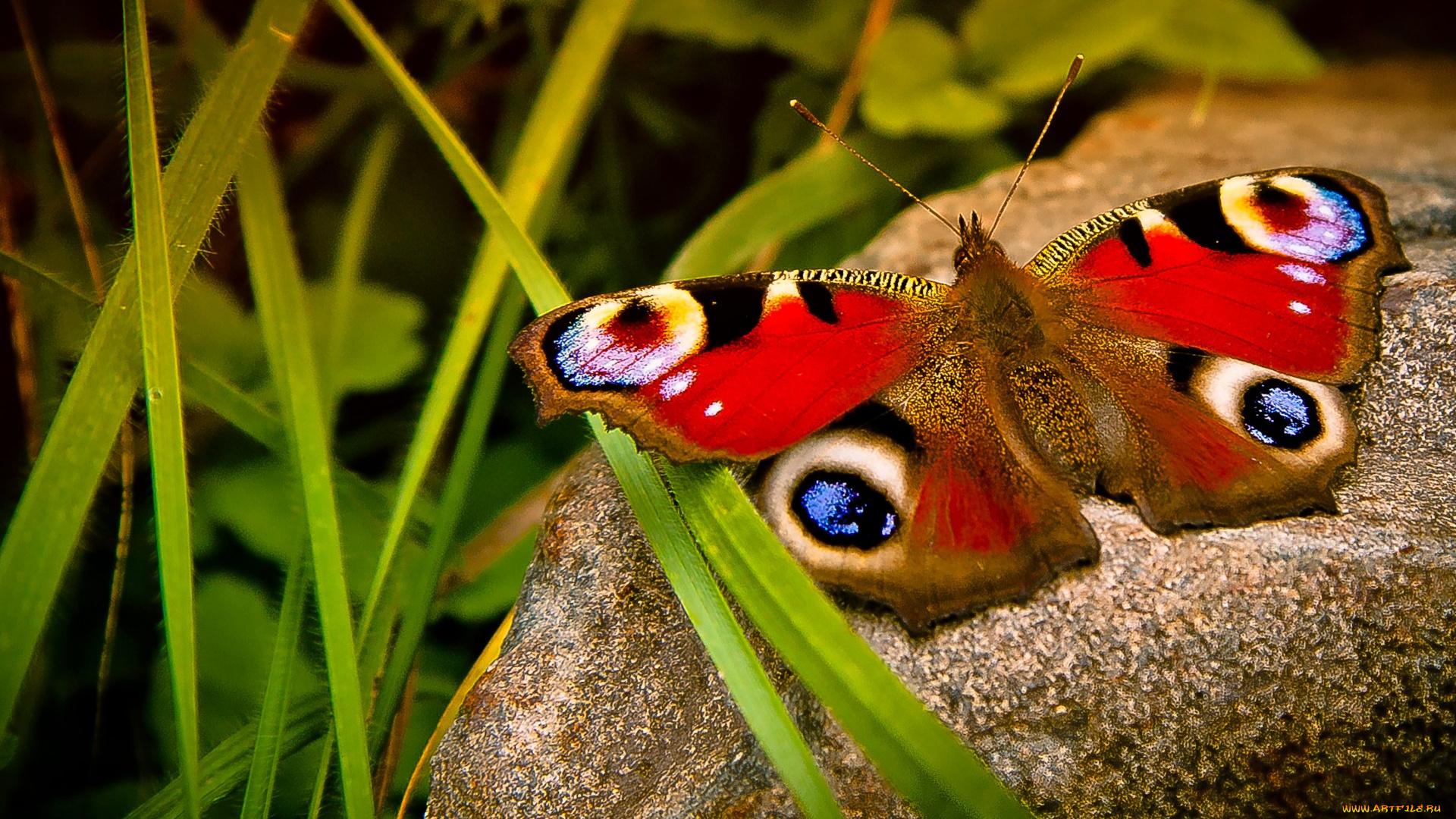 природа макро насекомое бабочка цветы без смс