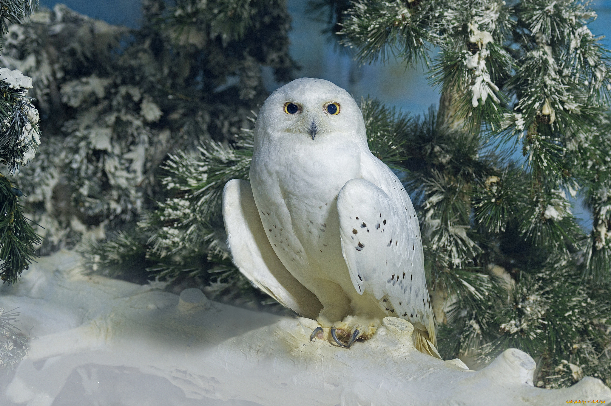 цены картинки белая сова зимой сможете для