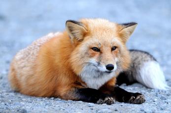 Картинка животные лисы хвост рыжий